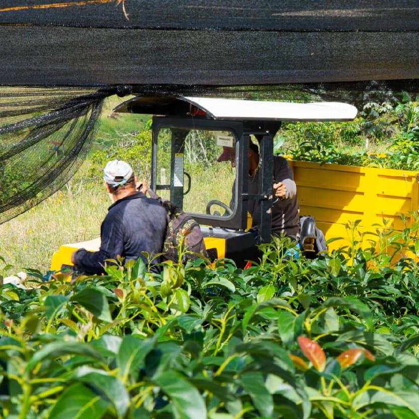 transportation of bushes for planting
